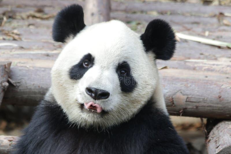 Stängda-upp fluffiga Panda Bear i Chengdu, Kina arkivbilder