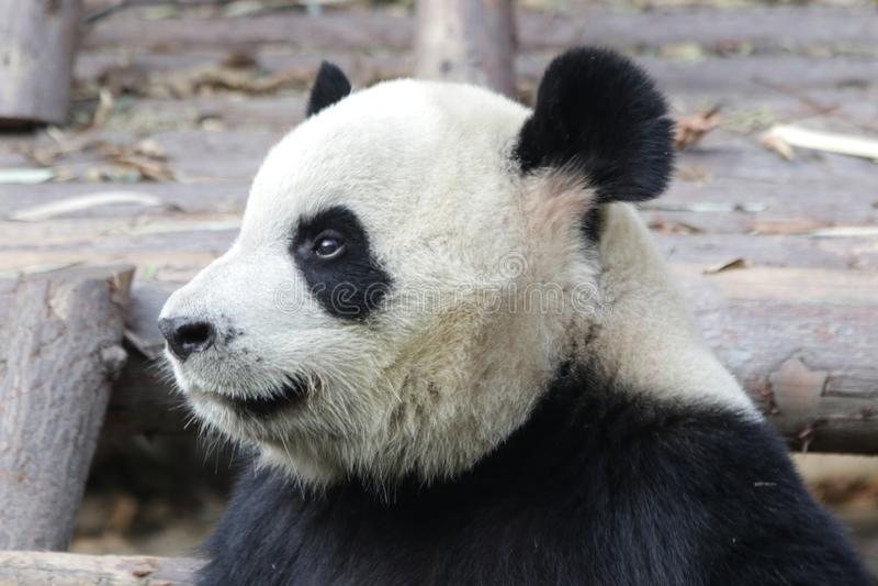 Stängda-upp fluffiga Panda Bear i Chengdu, Kina royaltyfri fotografi