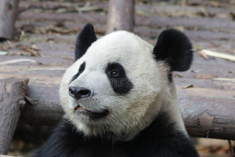 Stängda-upp fluffiga Panda Bear i Chengdu, Kina royaltyfri foto