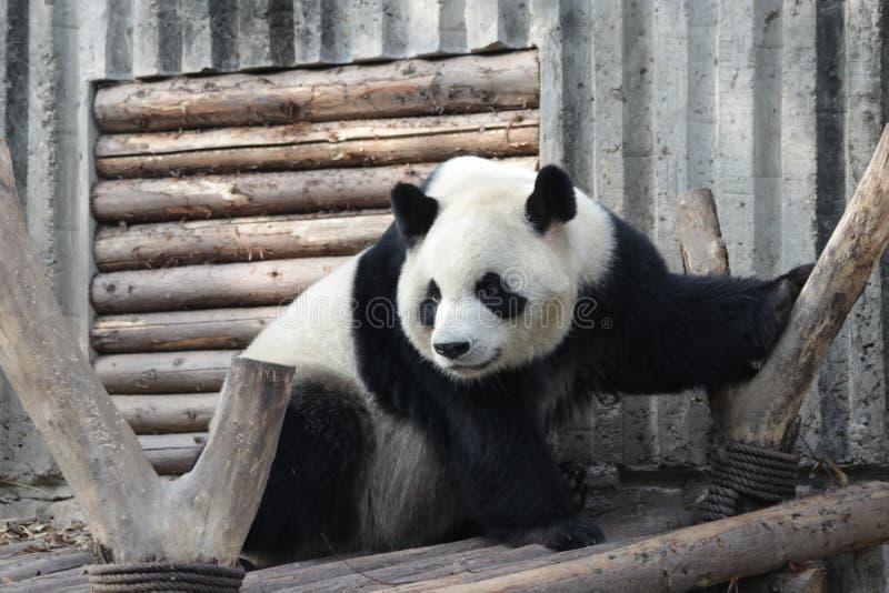 Stängda-upp fluffiga Panda Bear i Chengdu, Kina arkivfoton