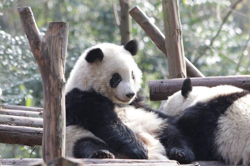 Stängda-upp fluffiga Panda Bear i Chengdu, Kina royaltyfria bilder