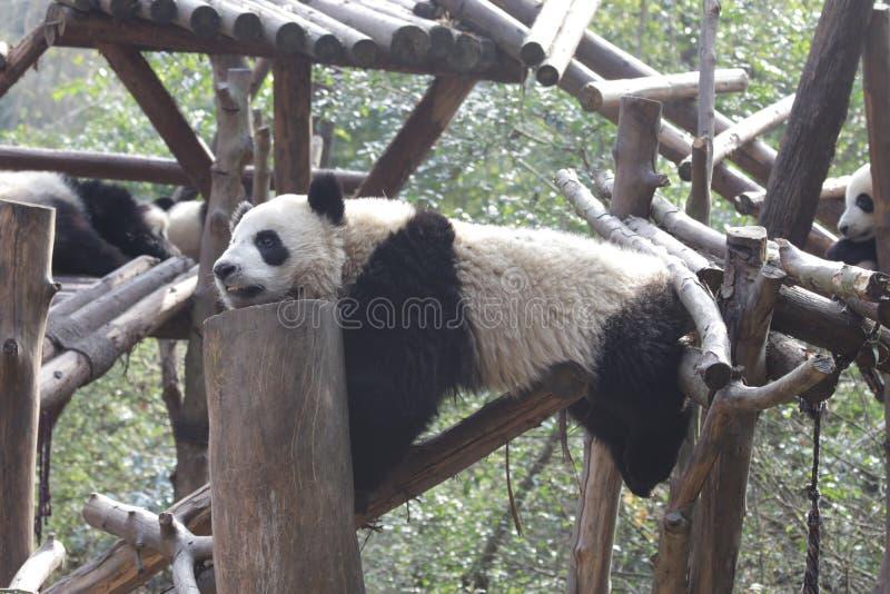 Stängda-upp fluffiga Panda Bear i Chengdu, Kina arkivbild
