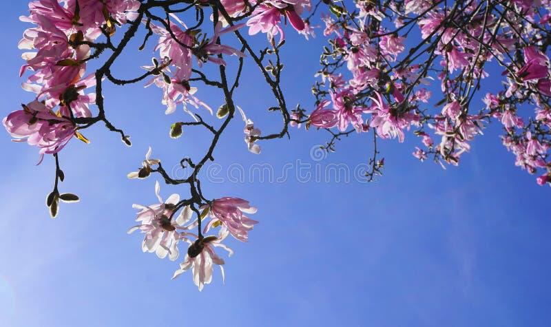 Stänger sig rosa blommor för prålig och härlig magnoliastellata upp på filialen mot ljust - blå bakgrund fotografering för bildbyråer