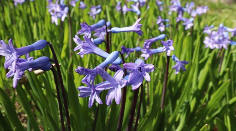Stängning av blåa hyacint-blommor i trädgård Med en snyggt suddig bakgrundseffekt kopierar du utrymmet arkivbild