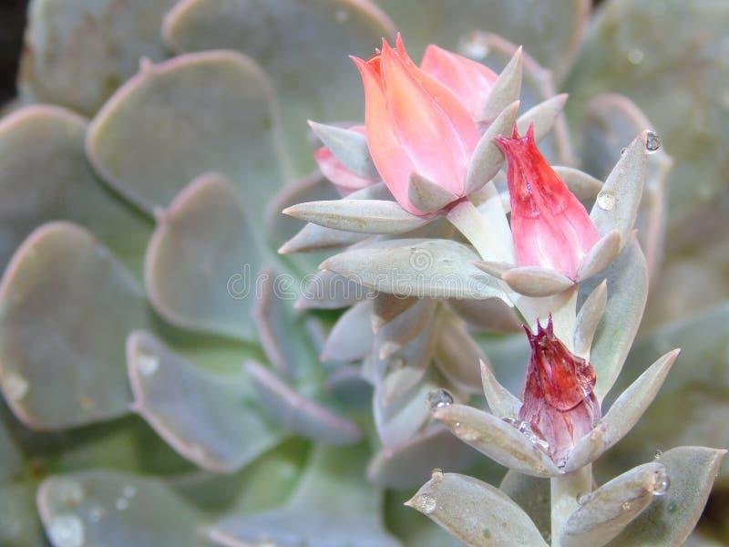 Stängning av rosa blommor från en sukulär växt med regndroppar på den, echeveria lilacina efter regnet royaltyfri foto