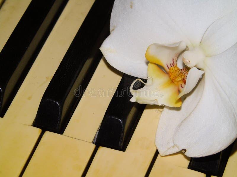 Stängning av vit orkidéblomma ovanför pianotangentbord, natur, musik, konst arkivbilder