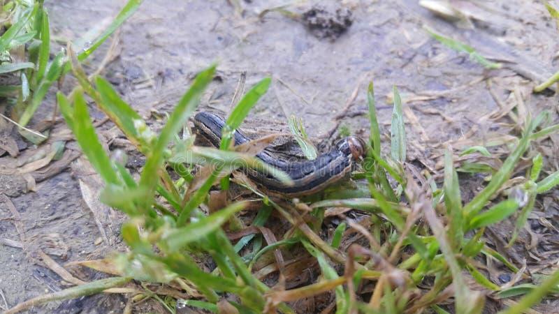 Stängningsvy av en grå svart hornmask som äter gröna blad på jordbruksmark fotografering för bildbyråer