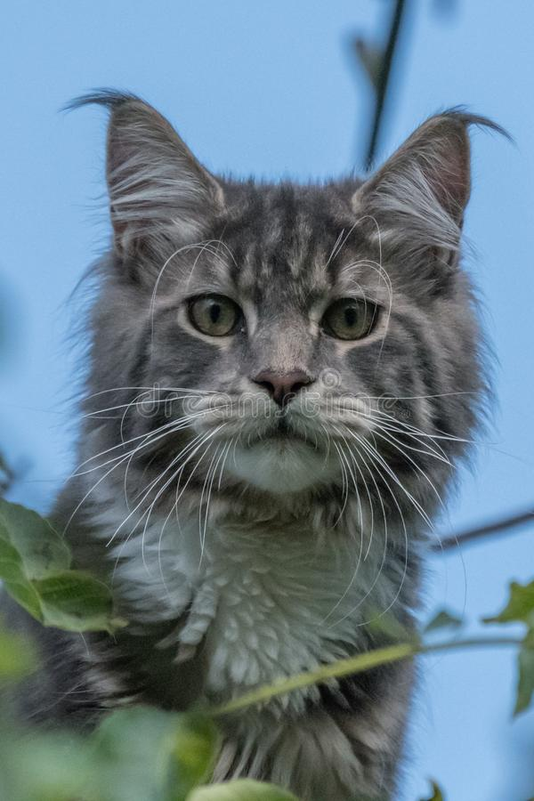 Stängt upp av den inhemska förtjusande svarta gråa Maine Coon kattungen, ung fridsam katt i solskendag royaltyfri foto