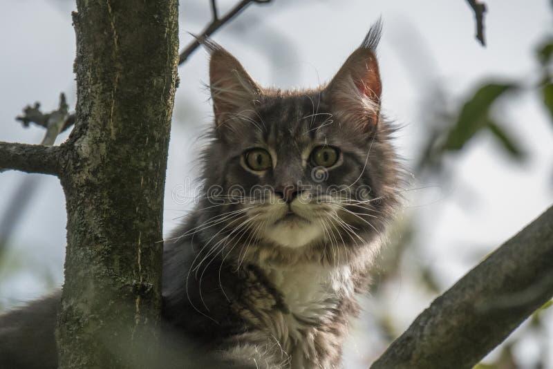 Stängt upp av den inhemska förtjusande svarta gråa Maine Coon kattungen, ung fridsam katt i solskendag royaltyfria bilder