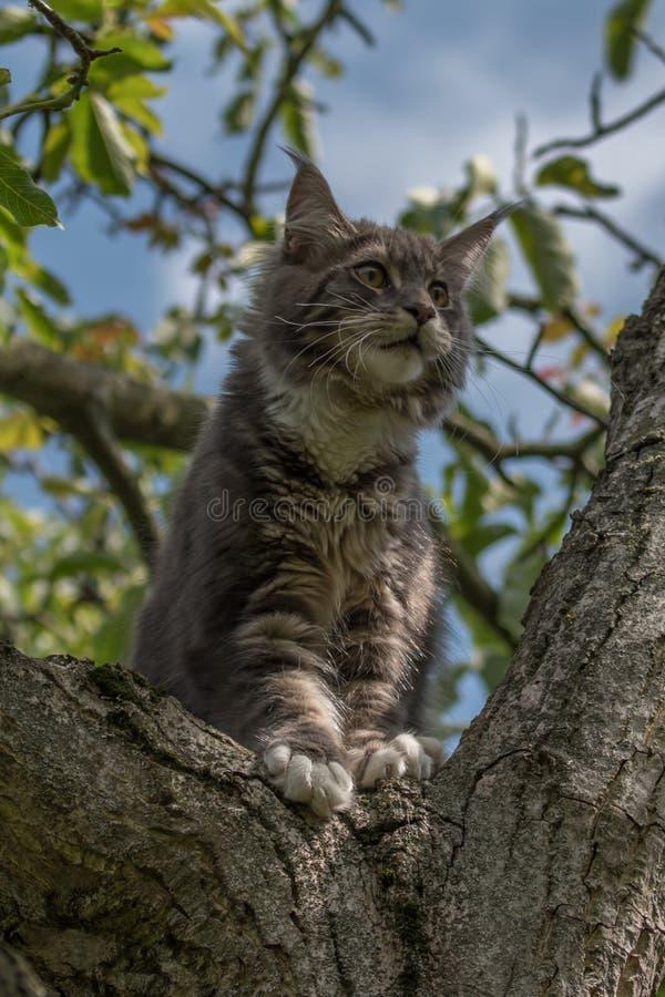 Stängt upp av den inhemska förtjusande svarta gråa Maine Coon kattungen, ung fridsam katt i solskendag royaltyfri fotografi