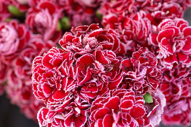 Stängt upp av röd nejlika blommar, den selektiva fokusen arkivbild