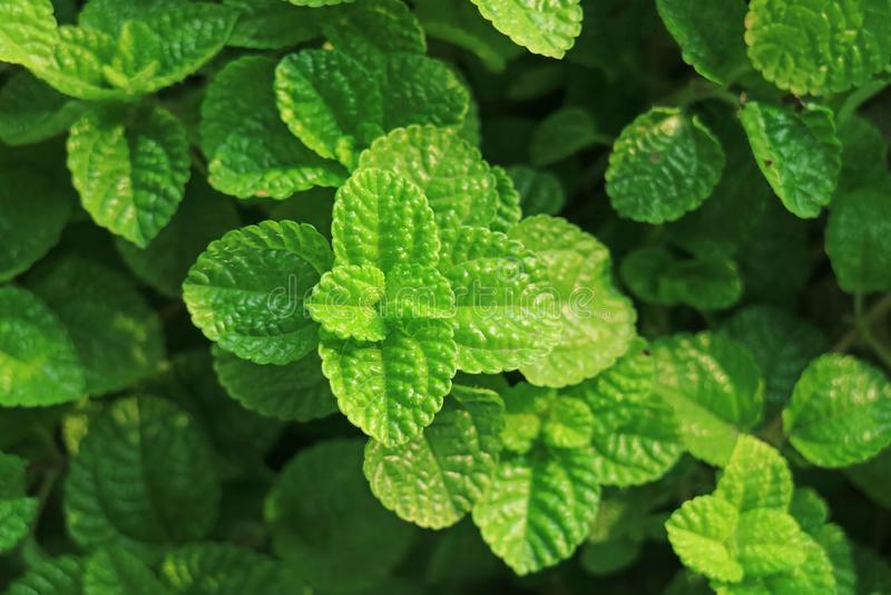 Stängt upp livliga gröna unga mintkaramellsidor i trädgården royaltyfri fotografi