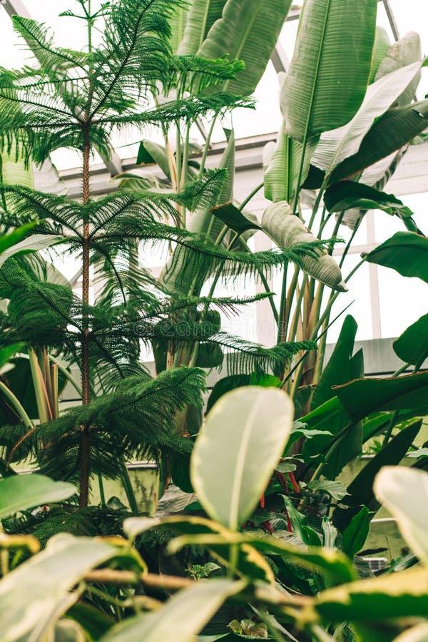 Stängt växthus med mörkt - gröna växter mot fönstren Djungelväxter i ett tropiskt växthus royaltyfri foto