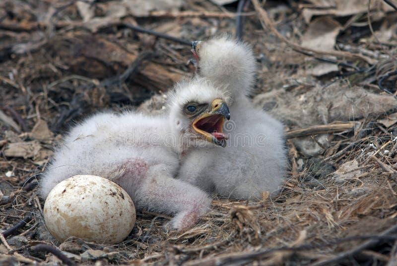 Stäppörnfågelungar arkivbild