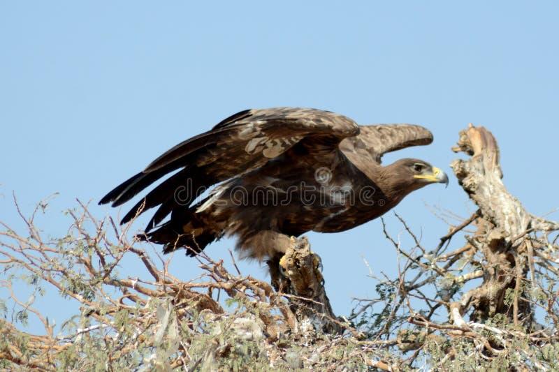 Stäppen Eagle Taking av JORBEER-ROVFÅGEL PARKERAR RAJASTHAN royaltyfria foton