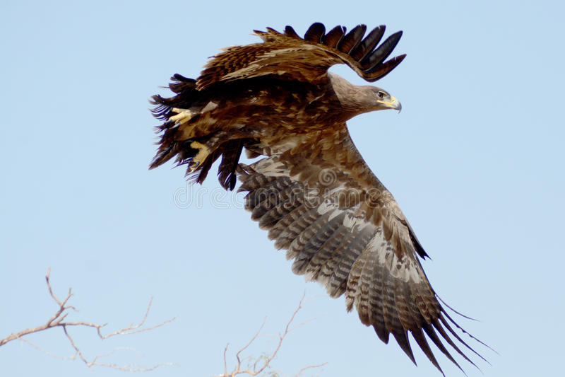 Stäppen EagleTaking av JORBEER-ROVFÅGEL PARKERAR RAJASTHAN arkivbild