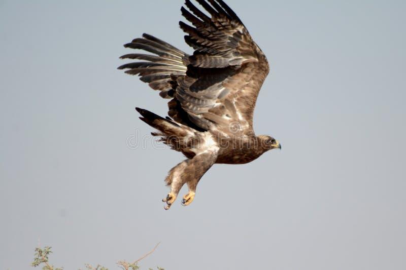 Stäppen EagleTaking av JORBEER-ROVFÅGEL PARKERAR RAJASTHAN royaltyfri fotografi