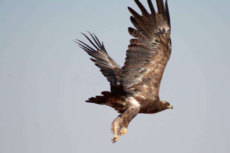Stäppen EagleTaking av JORBEER-ROVFÅGEL PARKERAR RAJASTHAN royaltyfria foton