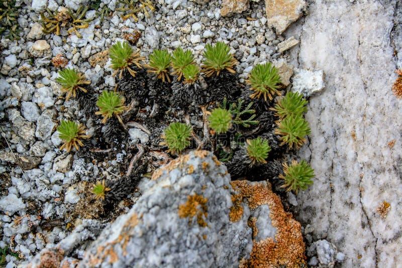 Stäppväxter som växer heaply från stenen arkivbild