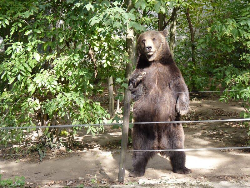 Stå för brunbjörn royaltyfri bild