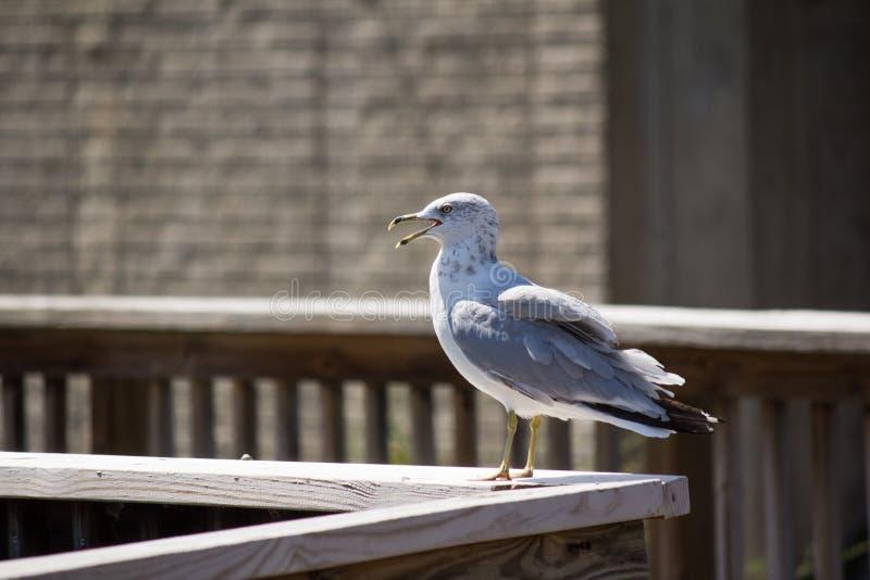 Stå seagull arkivfoto