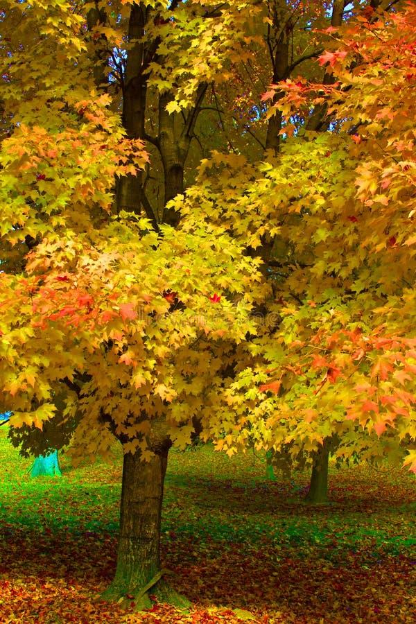 Stå ut lönnträdet i parkera fotografering för bildbyråer