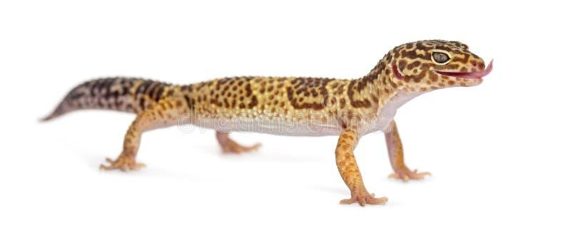 Stående övre för leopardgecko royaltyfria bilder
