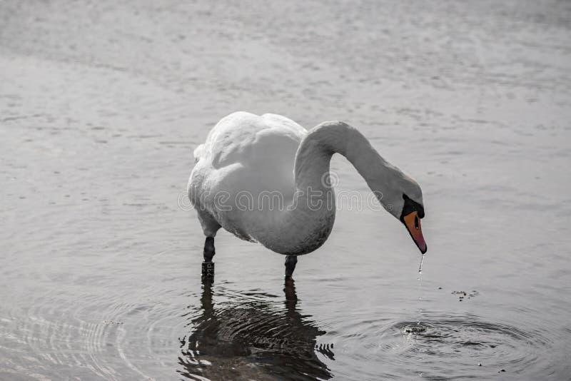 Stående övre för svan royaltyfri fotografi