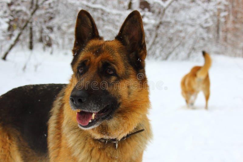 Stående av öst - europeisk herde i snöträt med en annan röd hund bakom royaltyfri foto