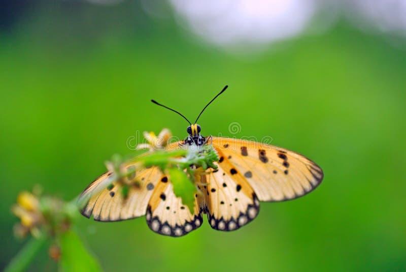 Stående av Acraea terpsicore eller den gulbruna costerfjärilen royaltyfri bild