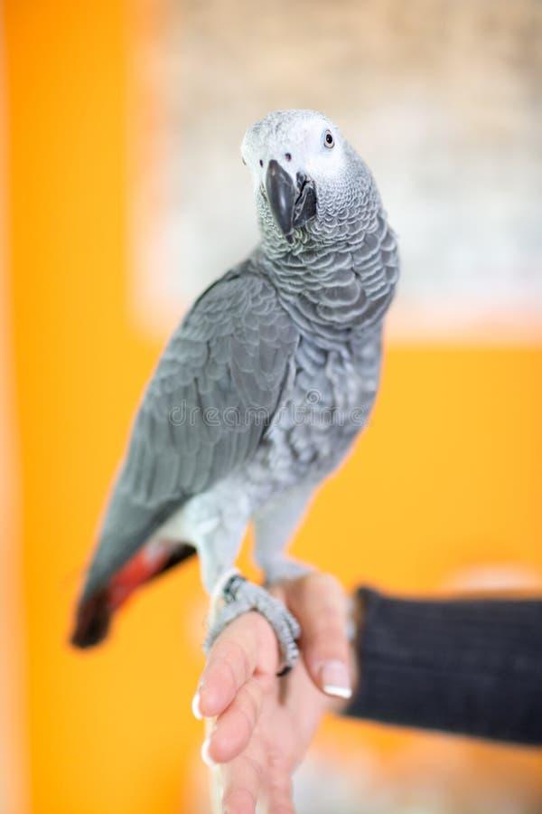Stående av afrikanen Gray Parrot royaltyfri foto