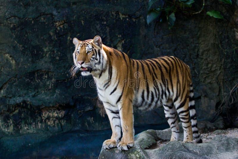 Stående av Amur tigrar royaltyfri foto