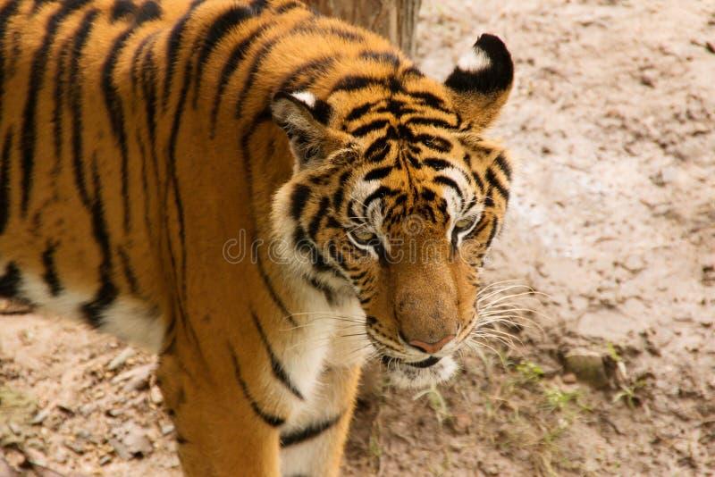 Stående av Amur tigrar arkivfoton