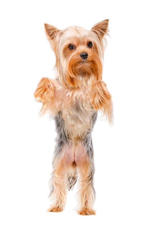 Stående av anseendet för Yorkshire terrier på hans bakre ben arkivbild