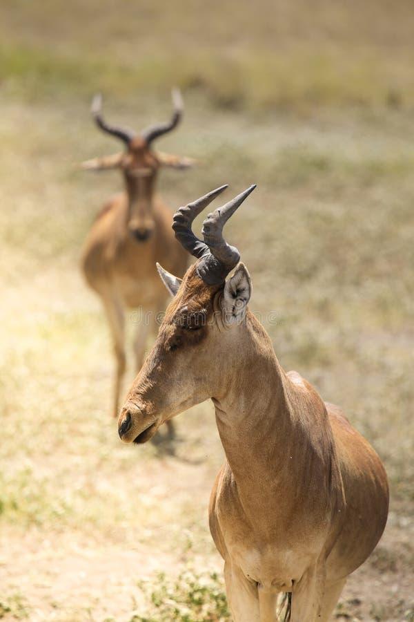 Stående av antilop med ett annat anseende bakom royaltyfri foto