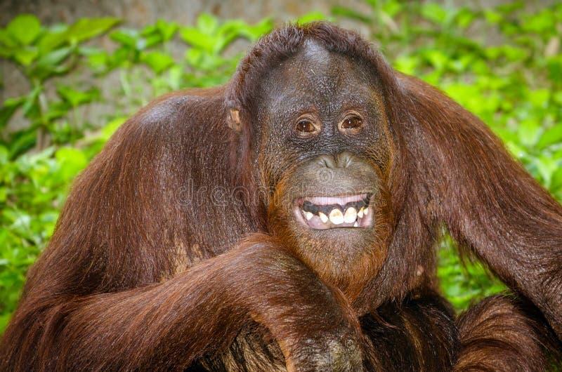 Stående av att le för orangutang (Pongopygmaeus) fotografering för bildbyråer