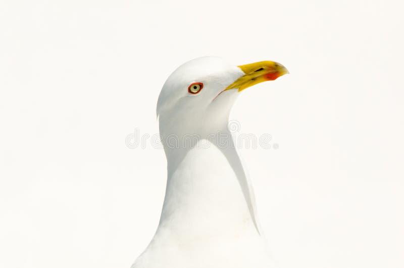 Stående av att posera seagullen i medelhavet, Italien royaltyfri bild