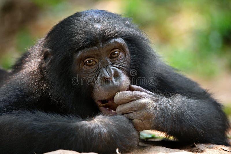 Stående av bonobos Närbild congo demokratisk republik Lola Ya BONOBOnationalpark arkivfoto