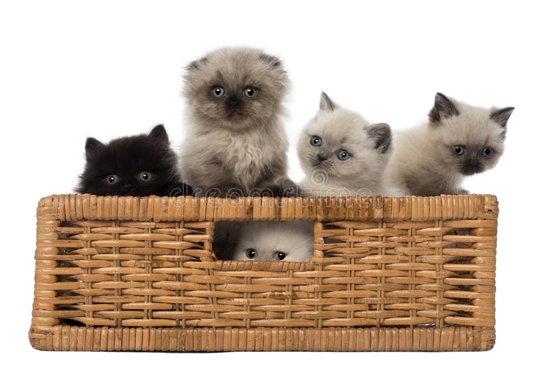Stående av brittiska Shorthair kattungar i korg arkivfoton