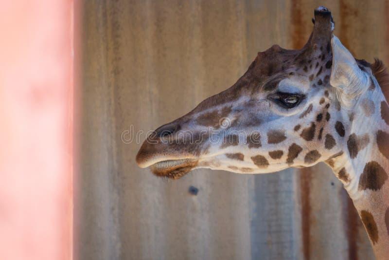 Stående av camelopardalis för en giraff eller Giraffa arkivbild
