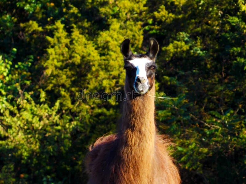 Stående av Choco den majestätiska laman royaltyfria bilder