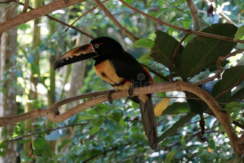 Stående av Collared Aracari toucanet på filialen royaltyfria bilder