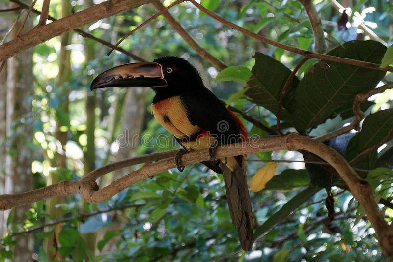 Stående av Collared Aracari toucanet på filialen arkivbild