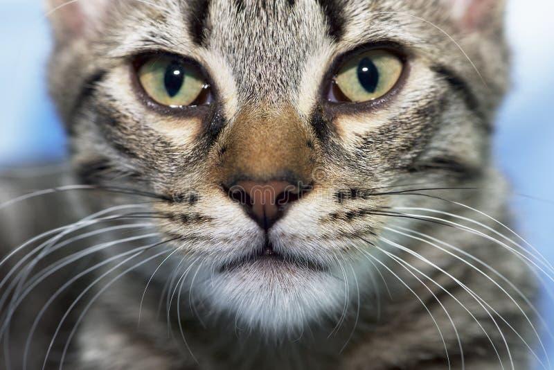 Stående av den allvarliga lilla kattungen Kantjusterat huvud 3 månad gammal kattunge arkivbild