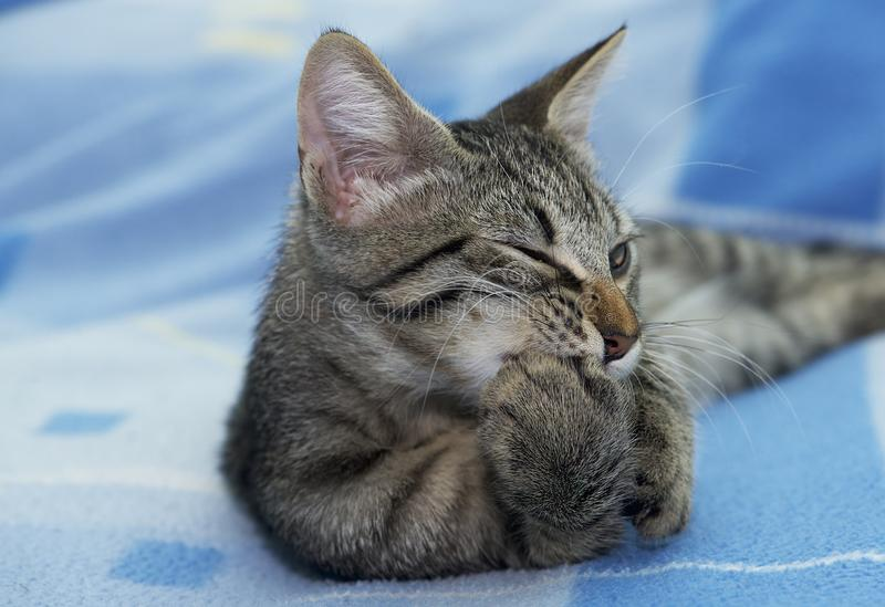 Stående av den allvarliga lilla kattungen som kopplar av på en soffa, 3 månad gammal kattunge arkivfoto