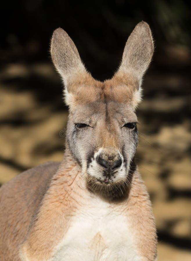 Stående av den australiska kängurun med stora ljusa bruna ögon som ser närbild på kameran och blickar som ett framstickande austr royaltyfria foton
