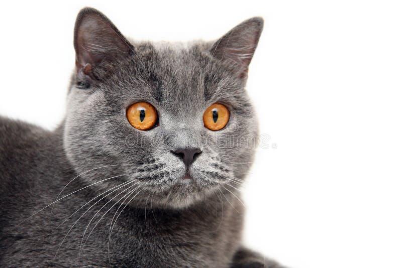 Stående av den blåa brittiska katten med stora orange ögon på vit bakgrund arkivbild