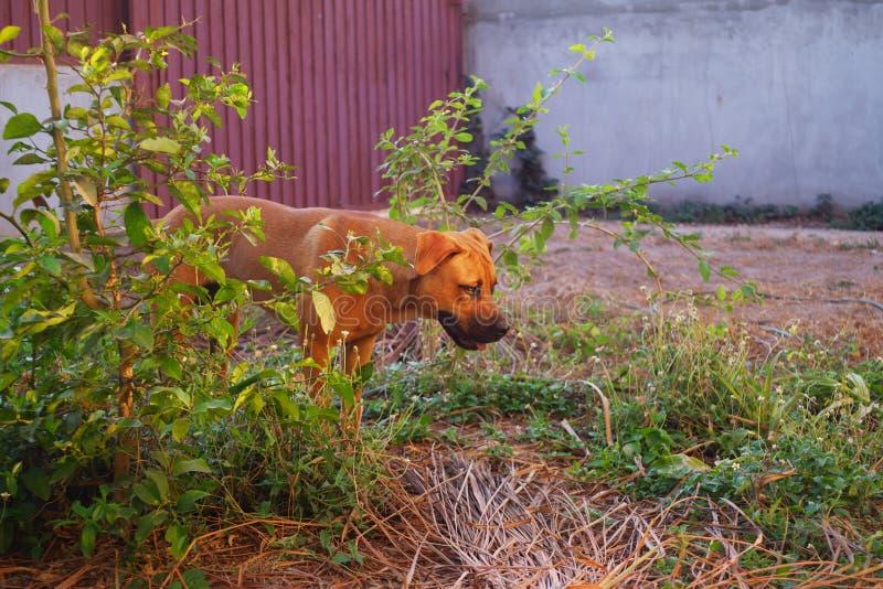 Stående av den blandade hunden för avelpitbull-boerboel-tysk herde i gård under guld- timme arkivfoto