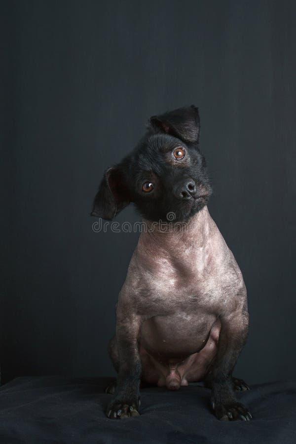 Stående av den blandade peruanska hunden royaltyfri bild