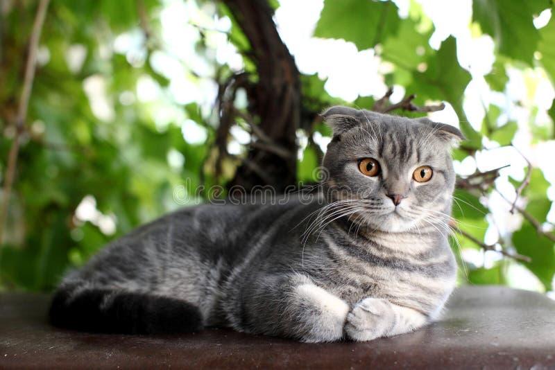 Stående av den brittiska Shorthair katten som ligger på en bakgrund av gröna sidor arkivfoton